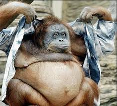 ape bloated